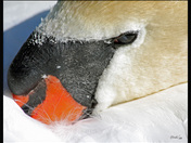 Mute Swan . . . Speak No Evil
