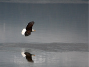 Eagle Reflection.jpg