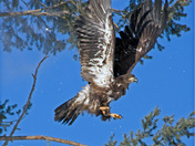 Flying Snow Golden Eagle cropped.jpg