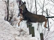 Leaping Mule Deer.jpg