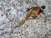 Ringnecked Pheasant in Berry Tree Auto Col. Corr.jpg