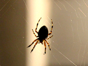 Spider Silouette at Night