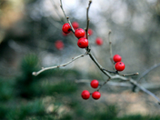 Winter Berries