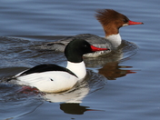 Common Merganser Pair1.5Bloomfield bridge.jpg