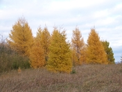 Tamarack In The Fall