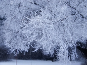 Hoar Frost on the Elm tree