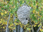Home to the Baldfaced Hornet Also call Bald-faced