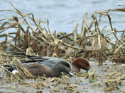 pair of Eurasian Wigeons.JPG