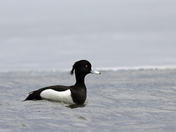 male lesser scaup.jpg