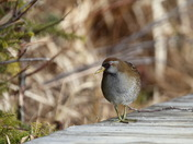 first sighting of Kent's Pond Sora.JPG