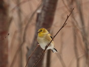american goldfinch.JPG