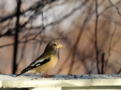 female evening grosbeak.JPG