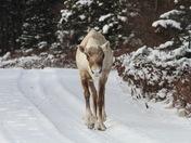 caribou approaching.JPG