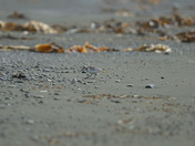semipalmated sandpiper.JPG