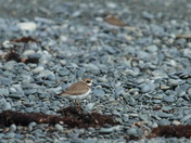 semipalmated plover I.JPG