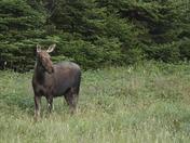 evening moose.JPG