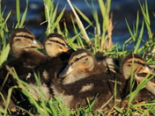 ducklings in a nest.JPG