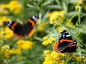 two butterflies.jpg