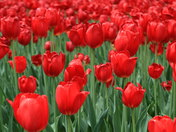 tulips are far as the eye can see.JPG