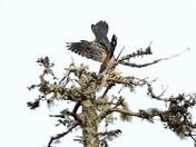 male and female hawk.JPG