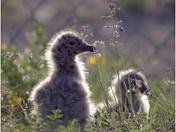 Baby Gull