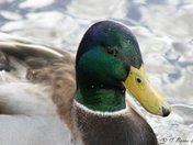 A duck taken in Centenniel Park, Moncton, NB.
