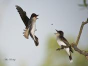 EASTERN KINGBIRDS.jpg