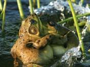 Bullfrogs Fighting
