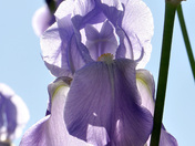 Iris in June