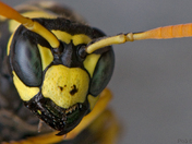 Wasp - Portrait of Dominant Female