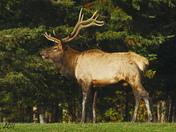 Elk-3-1.jpg