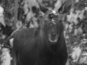 Moose stare down
