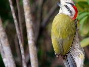 Cuban Wood Pecker