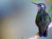 Baby Emerald Hummingbird