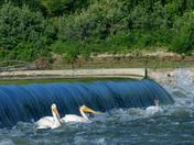 Pelicans on the Weir.jpg