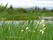 Meadowsweet and water