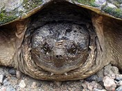 Snapping Turtle Closeup