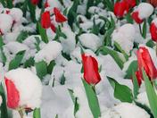 Tulip festival ottawa 2001