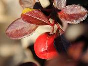 Fruits d'hiver pour les oiseaux