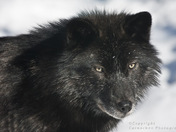 Black Timber Wolf