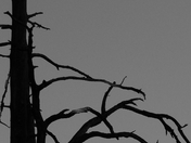 Grundy Lake Tree BW.jpg