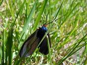 blue moth5 (1).JPG