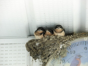 baby barn swallows.JPG