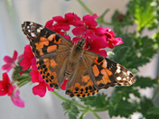 Photo #3 Painted Lady.jpg