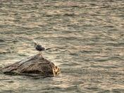 Gull on a Rock.jpg