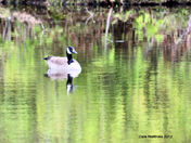 Canada Goose May 4, 2012.jpg