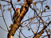 Downey Woodpecker April 29, 2012.jpg