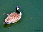 Canada Goose April 29, 2012.jpg