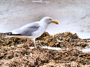 Herring Gull and Dinner.jpg