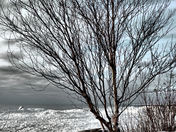 Lone White Birch
